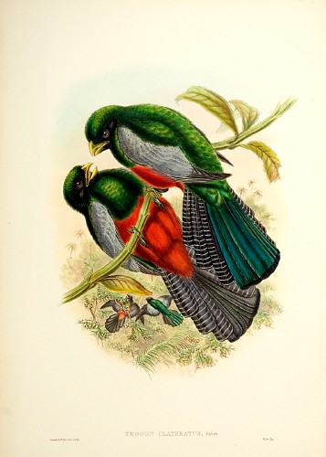 Lattice-tailed Trogon (Trogon clathratus) - Wiki; Image ONLY