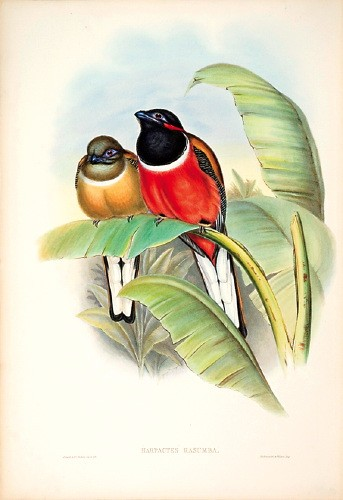 Red-naped Trogon (Harpactes kasumba) - Wiki; Image ONLY