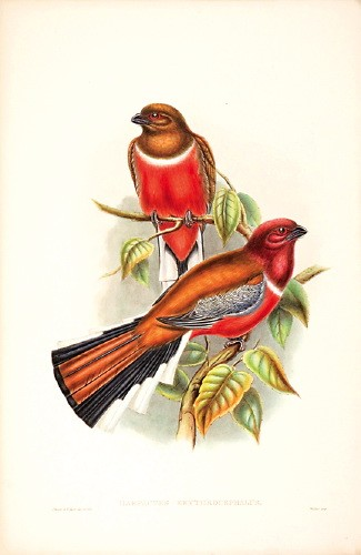 Red-headed Trogon (Harpactes erythrocephalus) - Wiki; Image ONLY