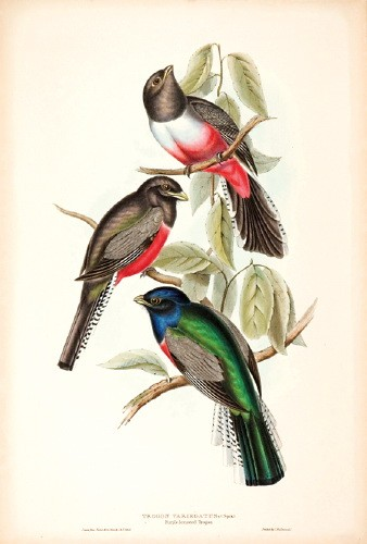 Blue-crowned Trogon (Trogon curucui) by John Gould; Image ONLY