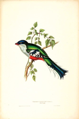 Cuban Trogon (Priotelus temnurus) by John Gould; Image ONLY