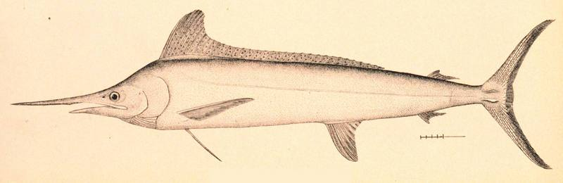White Marlin (Tetrapturus albidus) - Wiki; DISPLAY FULL IMAGE.