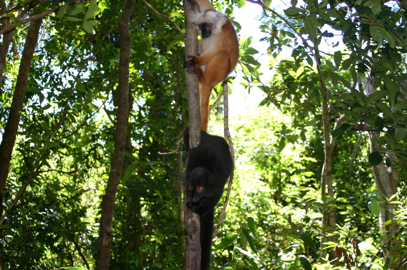 Male and female black lemurs - Eulemur macaco - in their natural habitat at Madagascar; DISPLAY FULL IMAGE.