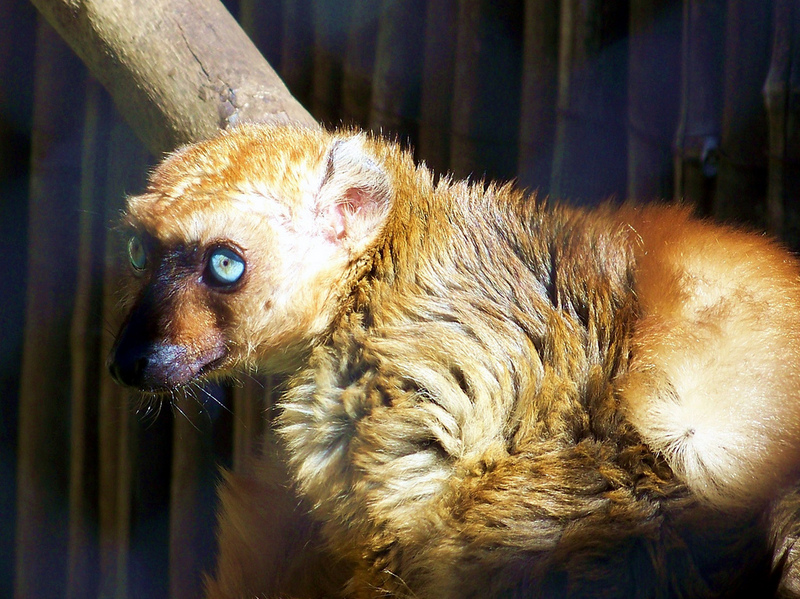 Blue-eyed Black Lemur (Eulemur macaco flavifrons) - Wiki; DISPLAY FULL IMAGE.