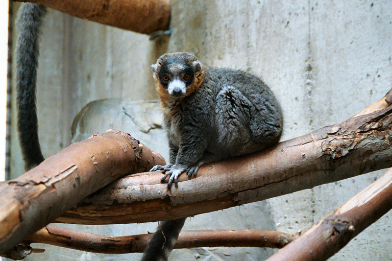 Mongoose Lemur (Eulemur mongoz) - Wiki; DISPLAY FULL IMAGE.