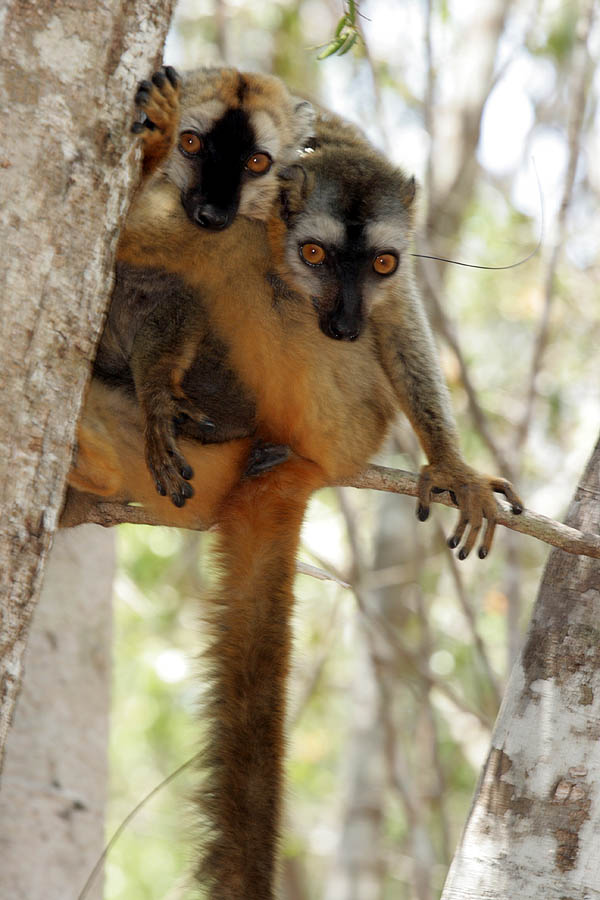 Common Brown Lemur (Eulemur fulvus) - Wiki; Image ONLY