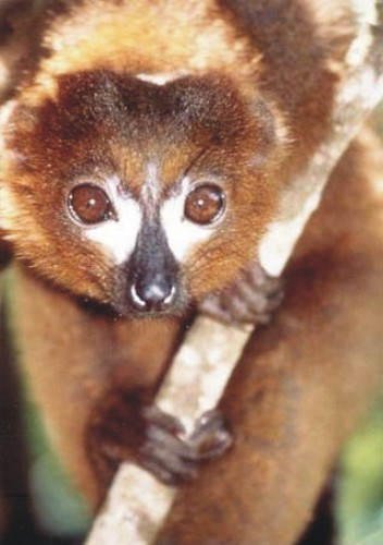 Red-bellied Lemur (Eulemur rubriventer) - Wiki; Image ONLY