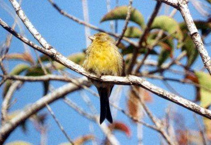 Island Canary (Serinus canaria) - Wiki; Image ONLY