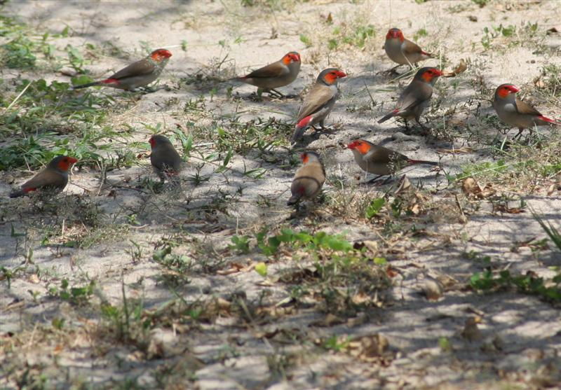 Orange-cheeked Waxbills (Estrilda melpoda); Image ONLY