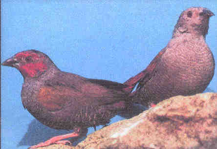 Red-faced Pytilia (Pytilia hypogrammica) - Wiki; Image ONLY