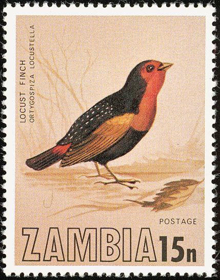 zam197704l-Locustfinch (Ortygospiza locustella).jpg