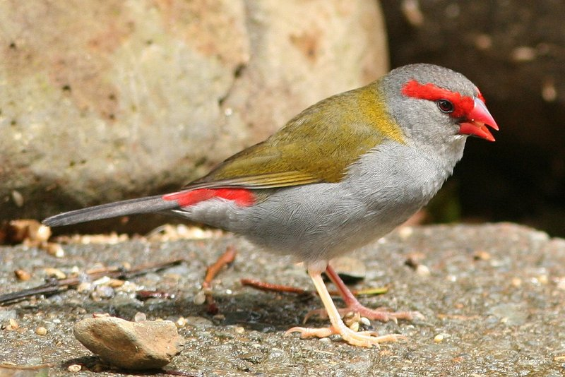 Red-browed Finch (Neochmia temporalis) - Wiki; DISPLAY FULL IMAGE.