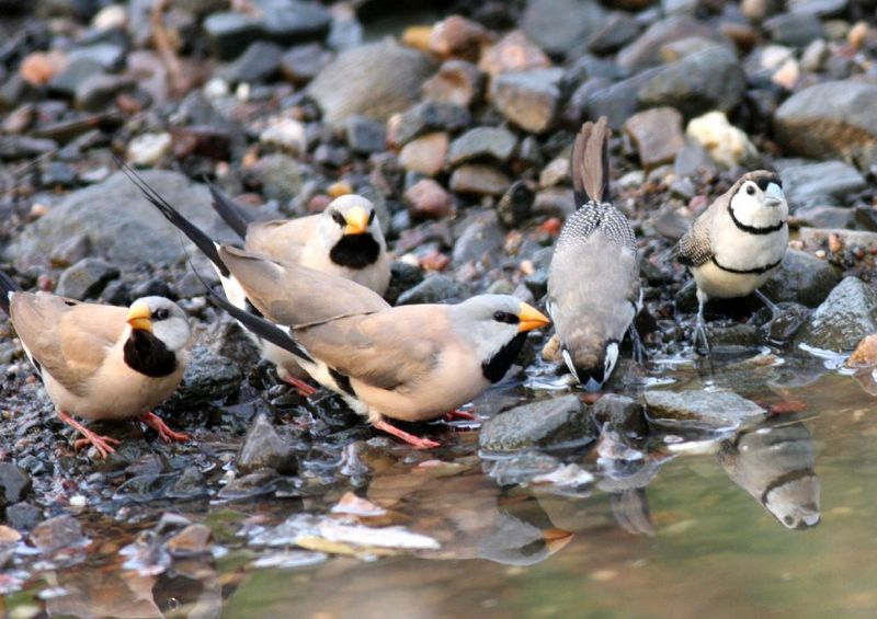 Long-tailed Finch (Poephila acuticauda) - Wiki; DISPLAY FULL IMAGE.