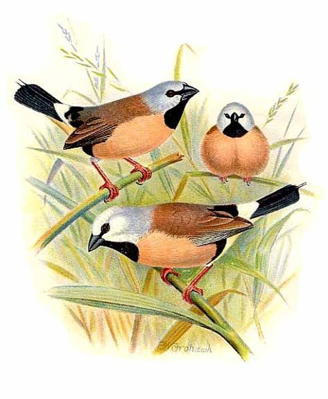 Black-throated Finch (Poephila cincta) - Wiki; Image ONLY
