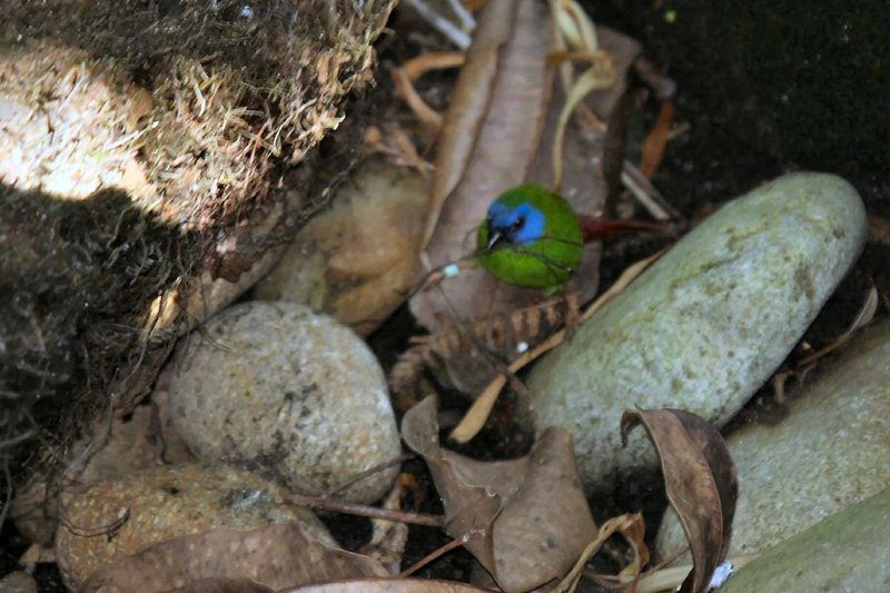 Blue-faced Parrotfinch (Erythrura trichroa) - Wiki; DISPLAY FULL IMAGE.