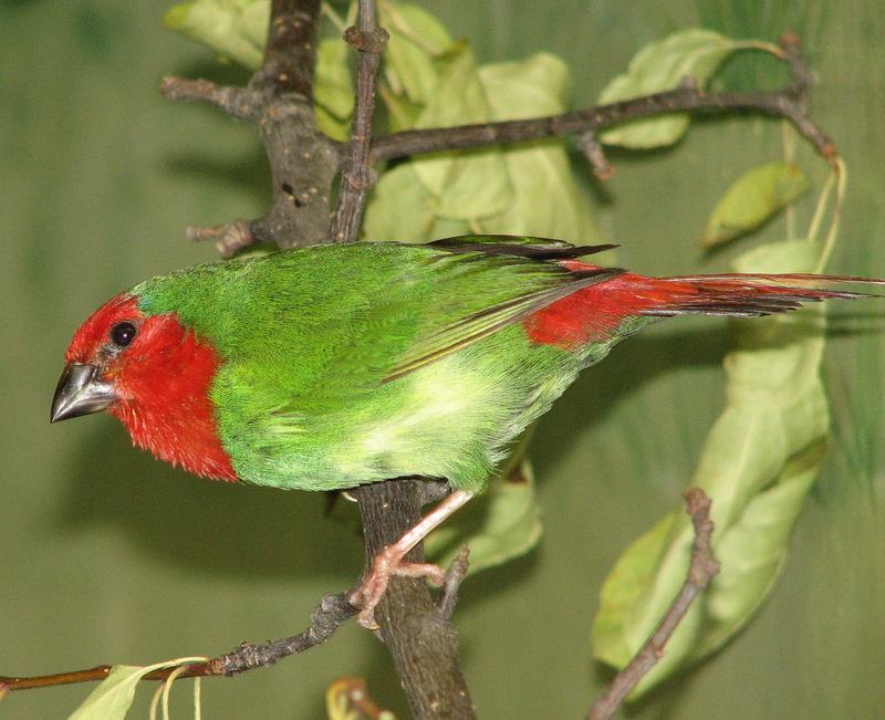 Red-throated Parrotfinch (Erythrura psittacea) - Wiki; DISPLAY FULL IMAGE.