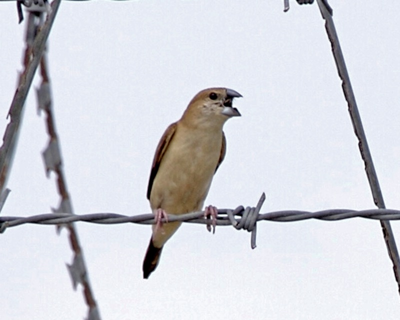 White-throated Munia (Lonchura malabarica); Image ONLY