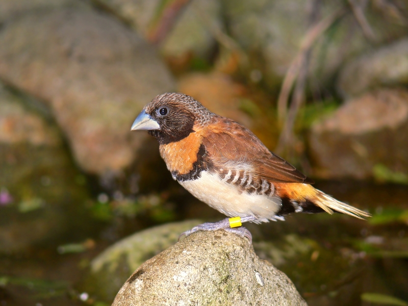 Chestnut-breasted Munia (Lonchura castaneothorax) - Wiki; DISPLAY FULL IMAGE.