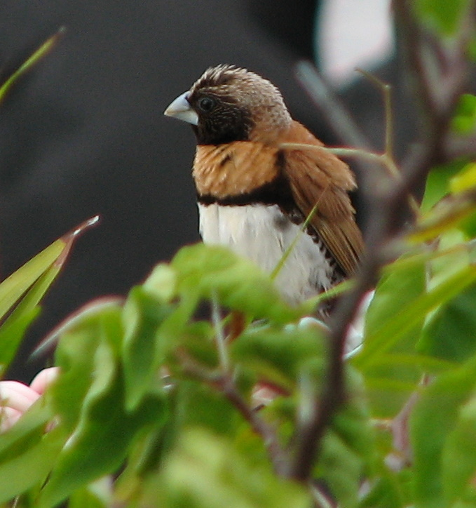 Chestnut-breasted Munia (Lonchura castaneothorax); Image ONLY