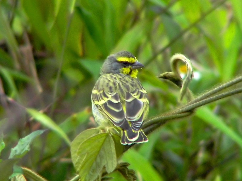 Yellow-fronted Canary (Serinus mozambicus) - Wiki; DISPLAY FULL IMAGE.