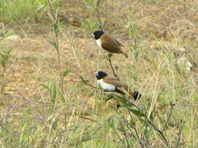 Hooded Munia (Lonchura spectabilis) - Wiki; Image ONLY