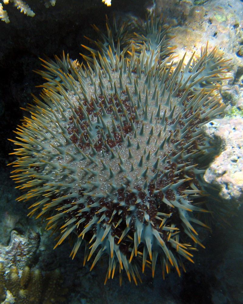 Crown-of-thorns Starfish (Acanthaster planci) Fiji 2005-10-12.jpg