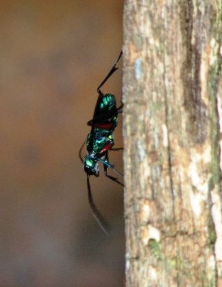 Emerald Cockroach Wasp (Ampulex compressa) - Wiki; Image ONLY