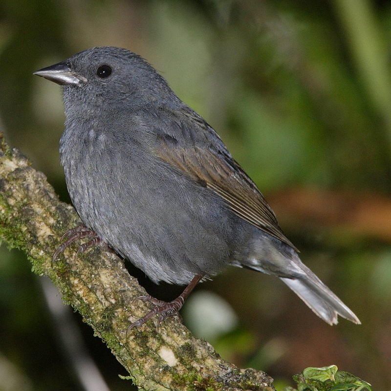 Slaty Finch (Haplospiza rustica) - Wiki; DISPLAY FULL IMAGE.