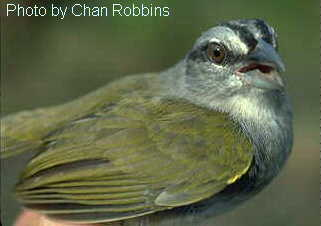 Green-backed Sparrow (Arremonops chloronotus) - Wiki; Image ONLY