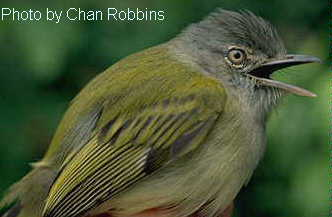 Yellow-olive Flycatcher (Tolmomyias sulphurescens) - Wiki; Image ONLY