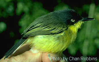 Common Tody-flycatcher (Todirostrum cinereum) - Wiki; Image ONLY