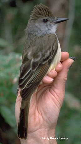 Brown-crested Flycatcher (Myiarchus tyrannulus) - Wiki; Image ONLY