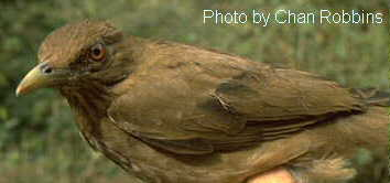 Clay-colored Robin or Thrush (Turdus grayi); Image ONLY