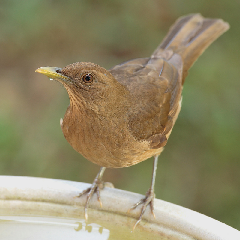 Clay-colored Robin (Turdus grayi) - Wiki; DISPLAY FULL IMAGE.
