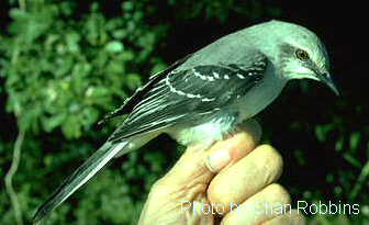 Tropical mockingbird Mimus gilvus ; Image ONLY