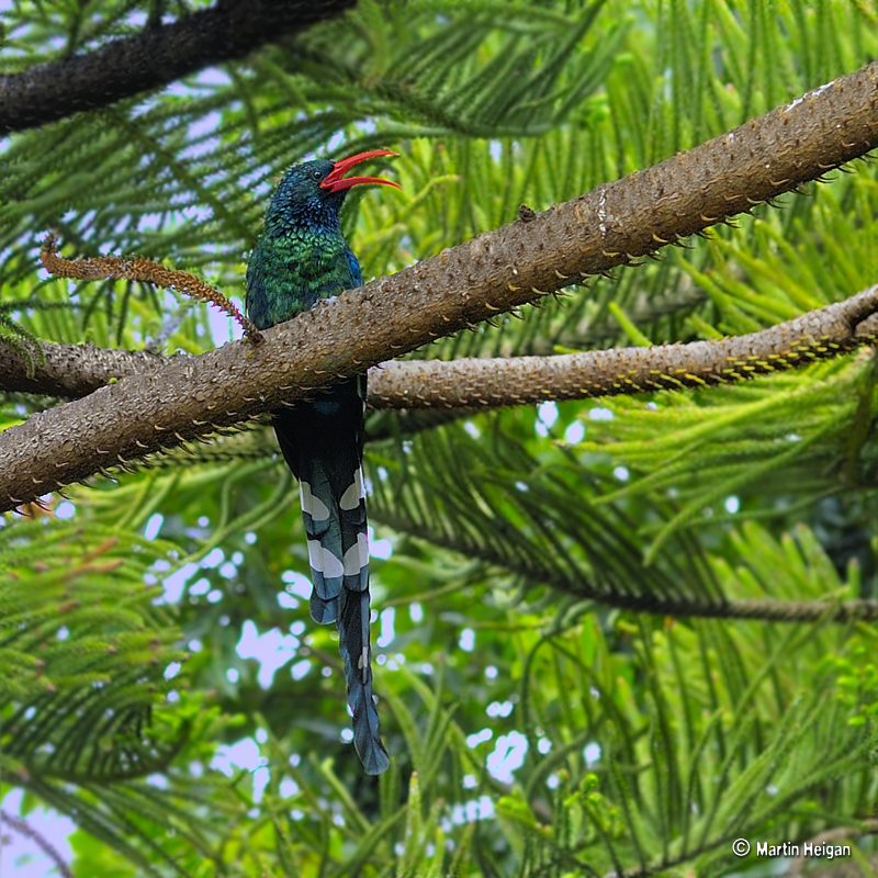 Woodhoopoe (Family: Phoeniculidae) - Wiki; Image ONLY