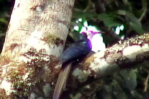 White-headed Woodhoopoe (Phoeniculus bollei) - Wiki; Image ONLY