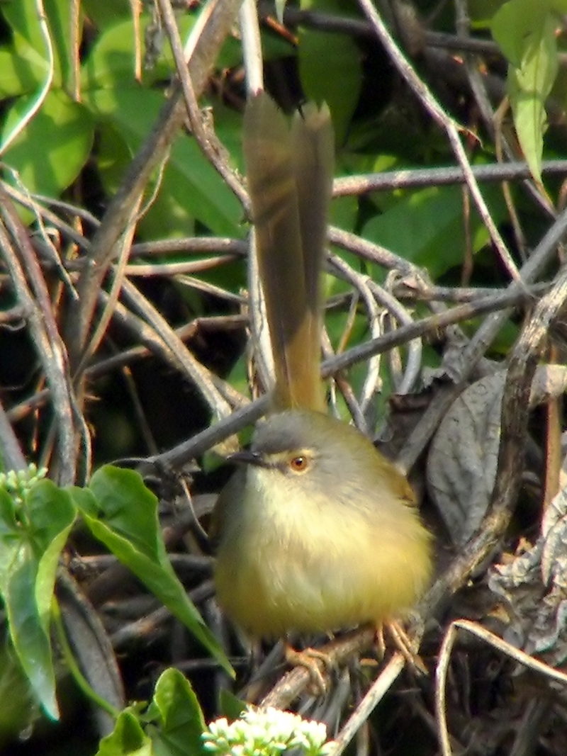 Yellow-bellied Prinia (Prinia flaviventris) - Wiki; DISPLAY FULL IMAGE.