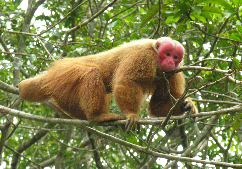 Uakari (Genus: Cacajao) - Wiki; DISPLAY FULL IMAGE.