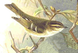Yellow-browed Warbler (Phylloscopus inornatus) - Wiki; Image ONLY