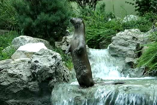 Eurasian River Otter (Lutra lutra) - Wiki; Image ONLY