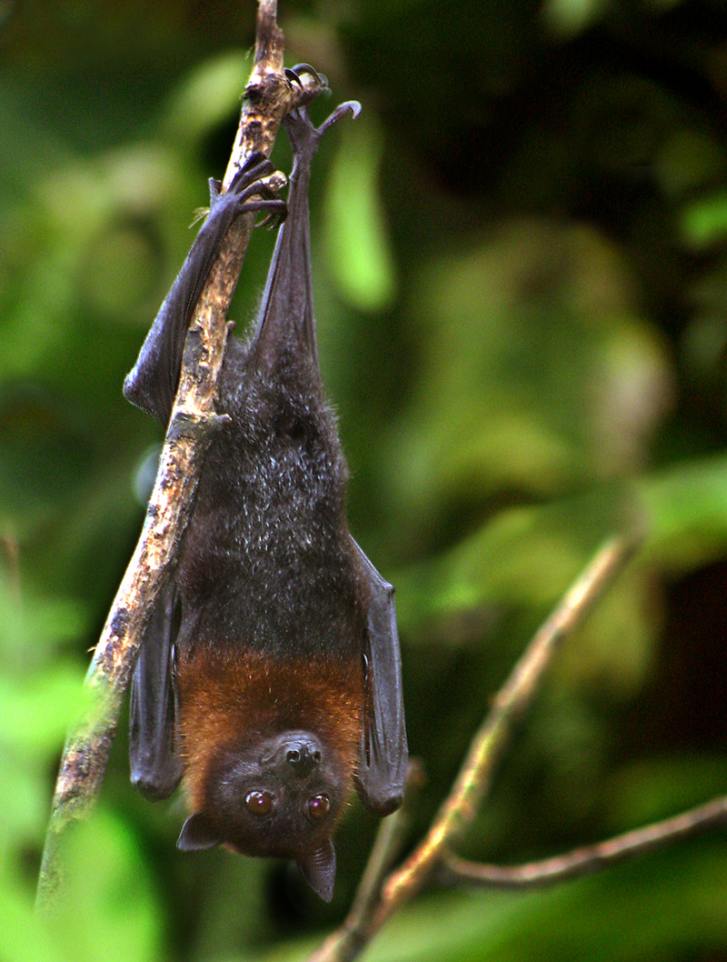 Lyle's Flying Fox (Pteropus lylei) - Wiki; DISPLAY FULL IMAGE.