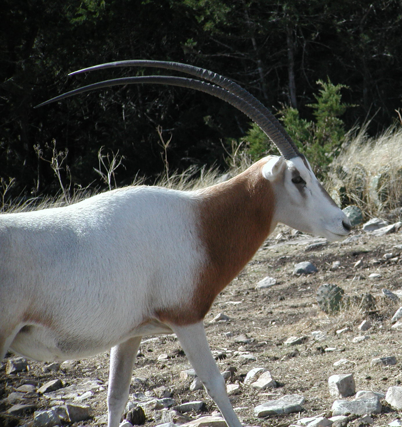Scimitar-Horned Oryx (Oryx dammah) - Wiki; DISPLAY FULL IMAGE.
