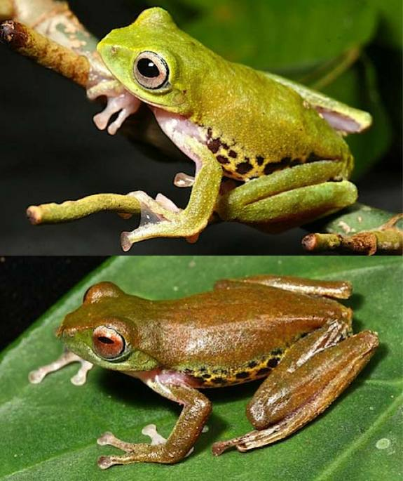 Color-changing Frog - Rhacophorus penanorum; Image ONLY