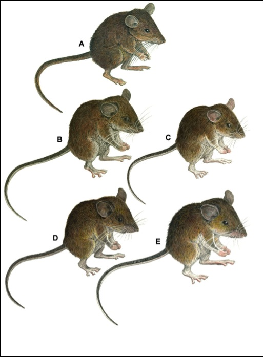 Seven New Species of Forest Mice; Image ONLY
