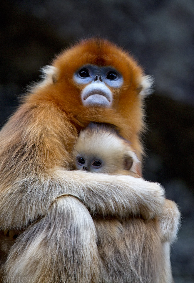golden snub-nosed monkey (Rhinopithecus roxellana); Image ONLY