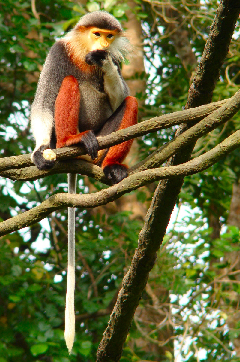 red-shanked douc langur (Pygathrix nemaeus); DISPLAY FULL IMAGE.