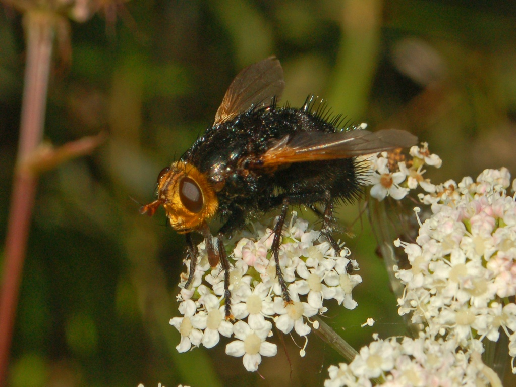 Tachina grossa (giant tachinid fly); Image ONLY