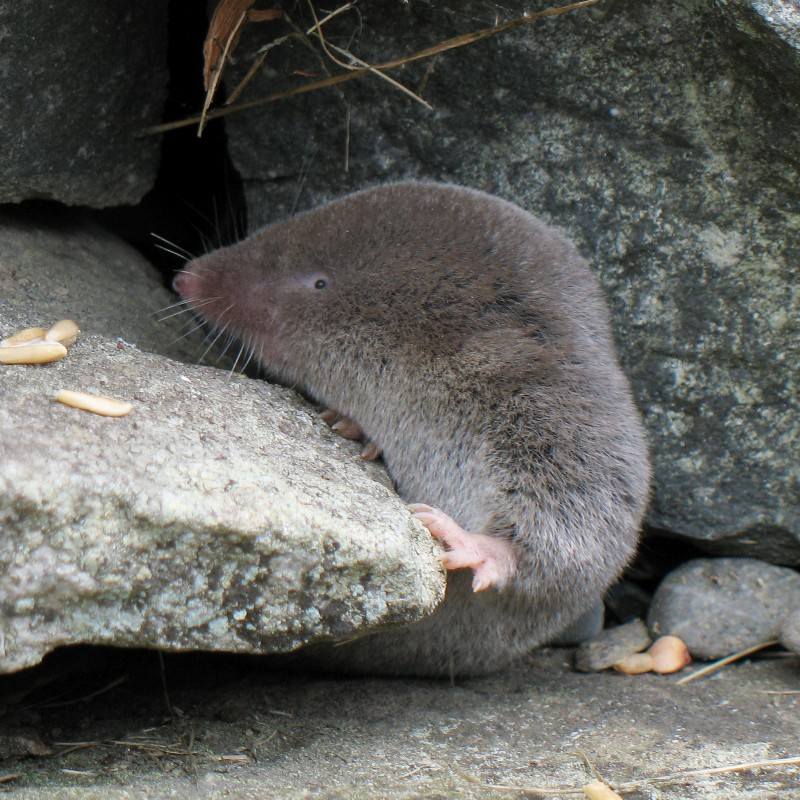 northern short-tailed shrew (Blarina brevicauda); DISPLAY FULL IMAGE.