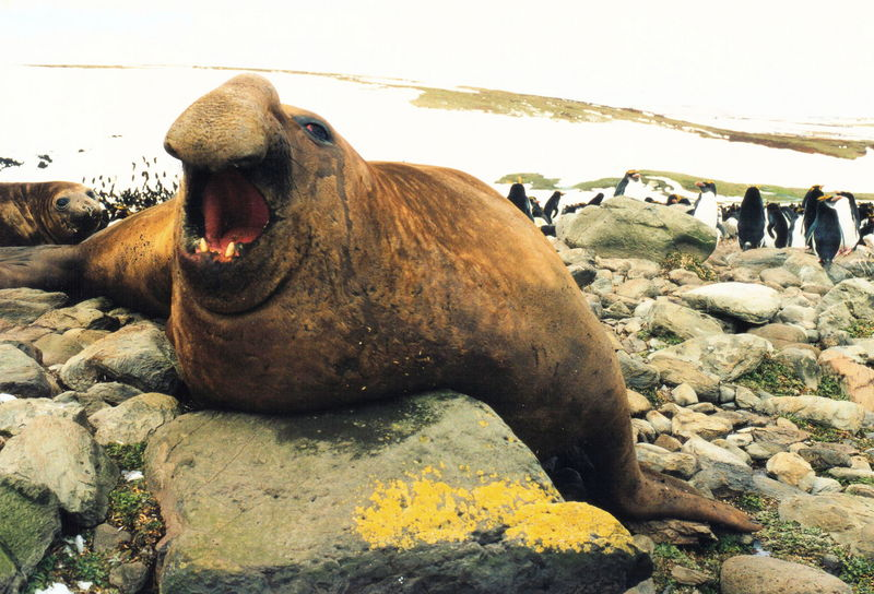 southern elephant seal (Mirounga leonina); DISPLAY FULL IMAGE.